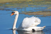 Mute swan on the water / Cygnus olor — Stock Photo