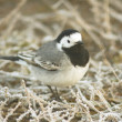 White wagtail on the ground / Motacilla alba - Stock Photo