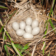 Stock Photo: Coot ( Fulicatr) nest with eggs