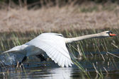 Mute swan ( Cygnus olor ) in a flying scene — Stock Photo