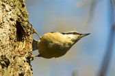 Eurasian nuthatch (Sitta europaea) — Stock Photo