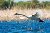 Mute swan in a flying scene / Cygnus olor — Stock Photo