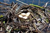 Great grebe (Podiceps cristatus ) nest with eggs — Stock Photo