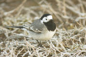 White wagtail on the ground / Motacilla alba — Stock fotografie