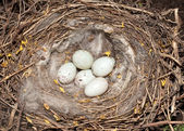Linnet (Carduelis cannabina) nest with eggs — Stock Photo
