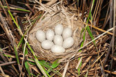 Coot ( Fulica atra ) nest with eggs — Stock Photo
