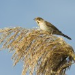 Stock Photo: Female of reed bunting in autumn day / Emberizschoeniclus