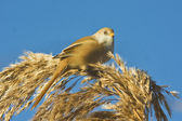 A female of bearded tit feeding against the blue sky / Panurus biarmicus — Stock Photo