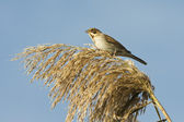 A female of reed bunting in a autumn day / Emberiza schoeniclus — Stock Photo