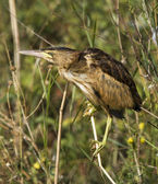 A juvenile of little bittern resting on the branch / Ixobrychus minutus — Stock Photo