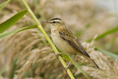 A Sedge Warbler resting on a reed leaf / Acrocephalus schoenobaenus — Stock Photo