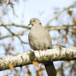 Collared dove resting on a branch / Streptopelia decaocto — Stock Photo