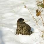 Nutcracker (Nucifraga caryocatactes) in the snow — Stock Photo #4425686