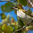 Stock Photo: Golden oriole perched in tree / Oriolus oriolus