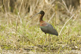 Glossy ibis feeding on th shore / Plegadis falcinellus — Stock Photo