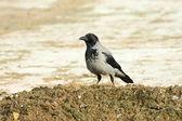 Hooded crow ( Corvus corone cornix ) — Stock Photo