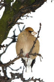 Hawfinch eating berryes in winter (Coccothraustes coccothraustes) — Stock Photo