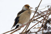 An adult of hawfinch on a branch eating berries / Coccothraustes coccothrau — Stock Photo
