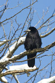Rook (Corvus frugilegus) in a winter scene — Stock Photo