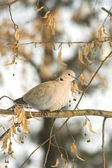 Collared dove on a branch in winter — Stock Photo