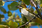 Golden oriole perched in a tree / Oriolus oriolus — Stock Photo