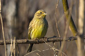 Yellowhammer resting on a branch / Emberiza citrinella — Stock Photo