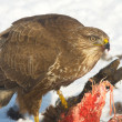 Common buzzard (Buteo buteo) on a winter scene — Stock Photo