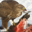 Stock Photo: Common buzzard (Buteo buteo) on winter scene