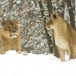 Stock Photo: Pair of lion in winter scene