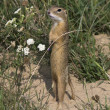 Stock Photo: Europeground squirrel / Spermophilus citellus