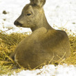 Stock Photo: Roe deer (Capreolus capreolus) portrait in winter scene