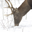 Stock Photo: Red deer on meadow in winter scene - portrait / Cervus elaphus
