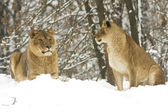 A pair of lion in a winter scene — Stock Photo
