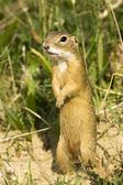 European ground squirrel / Spermophilus citellus — Stock Photo