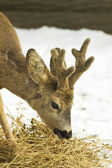 Roe deer (Capreolus capreolus) portrait in a winter scene — Stock Photo