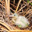 Stock Photo: Chick of little egret ( Egrettgarzett)