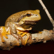 Green Tree Frog on a branch (Hyla arborea) — Stock Photo