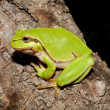Stock Photo: Green Tree Frog on branch (Hylarborea)