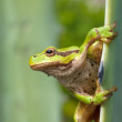 Green Tree Frog on a reed leaf (Hyla arborea) — Stock Photo