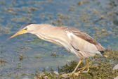 Little bittern looking for food on the shore / Ixobrychus minutus — Stock Photo