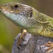 Stock Photo: Male of green lizard (Lacertviridis)