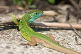 Male of green lizard (Lacerta viridis) — Stock fotografie
