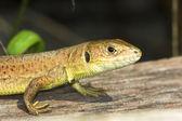 A female of green lizard (Lacerta viridis) — Foto Stock