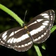 Stock Photo: Common glider ( Neptis sappho ) on green leaf