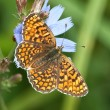 Stock Photo: Glanville Fritillary butterfly (Melitaecinxia)