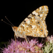 Stock Photo: Painted Lady butterfly, Vanesscardui