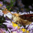 Stock Photo: Painted lady on violet flower close-up / Vanesscardui