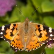 Stock Photo: Painted lady / Vanesscardui