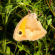 Stock Photo: Meadow brown / Manioljurtina