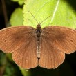 Ringlet butterfly / Aphanthopus hyperanthus — Stock Photo